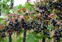 необычная ягода для домашней наливки