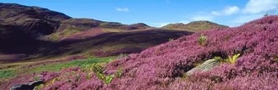 шотландия, вересковый мед